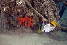 Threadfin Butterflyfish (chaetodon Auriga) Royalty Free Stock Image