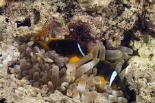Free Red Sea Anemonefish (Amphipiron Bicinctus) Royalty Free Stock Images - 5351929