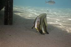 Free Longfin Spadefish (platax Teira) Stock Photography - 5351932