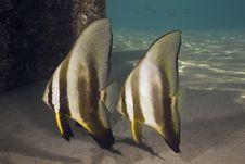 Free Longfin Spadefish (platax Teira) Royalty Free Stock Image - 5351956