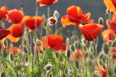 Free Poppy In The Sun Stock Images - 5352244