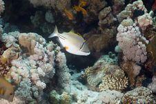 Free Picassofish (rhinecanthus Assasi) Stock Image - 5352681