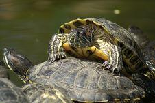 Free Tortoises Royalty Free Stock Image - 5352726