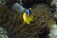 Free Red Sea Anemonefish (Amphipiron Bicinctus) Royalty Free Stock Image - 5352776