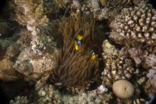 Free Red Sea Anemonefish (Amphipiron Bicinctus) Royalty Free Stock Photo - 5352785