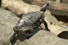 Free Tortoise Royalty Free Stock Photo - 5352805