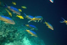 Free Yellowsaddle Goatfish (parupeneus Cyclostomus) Stock Photos - 5352903