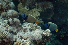 Free Emperor Angelfish (pomacanthus Imperator) Stock Image - 5352981