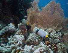 Free Emperor Angelfish (pomacanthus Imperator) Royalty Free Stock Photos - 5352998