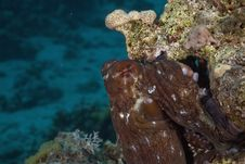 Free Reef Octopus (octopus Cyaneus) Stock Photos - 5353233