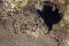 Free Bearded Scorpionfish (scorpaenopsis Barbatus) Stock Images - 5353284