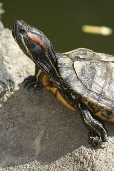 Free Tortoise Portrait Royalty Free Stock Photo - 5353475