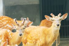 Free Spotted Deer Royalty Free Stock Images - 5353549