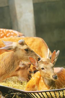 Free Spotted Deer Royalty Free Stock Image - 5353576