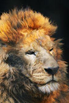 Free Lion Royalty Free Stock Image - 5353586
