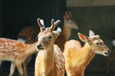 Free Spotted Deer Stock Photo - 5353850