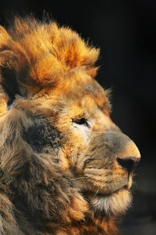 Free Lion Stock Image - 5353891