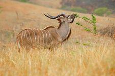 Free Kudu (Tragelaphus Strepsiceros Royalty Free Stock Image - 5354476