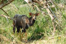 Free Nyala Male (Tragelaphus Angasii) Stock Photos - 5354613