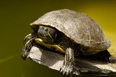 Turtle Is Risting In The Sun Royalty Free Stock Photo