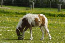 Pony Horse Eating Grass Royalty Free Stock Images
