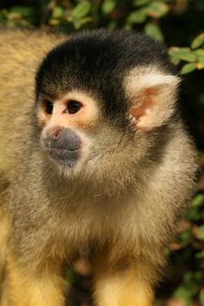 Free Black Capped Squirrel Monkey Royalty Free Stock Images - 5355559