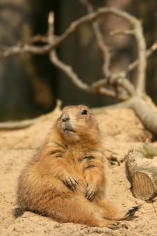 Free Prairie-dog Royalty Free Stock Photography - 5355637