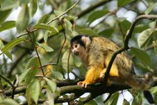 Free Black Capped Squirrel Monkey Stock Photography - 5355822