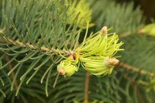 Free Pine Royalty Free Stock Image - 5355866
