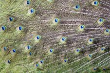 Free Peacock Feathers Royalty Free Stock Photo - 5356255