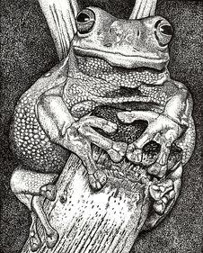 Free Amazon Tree Frog Stock Images - 5356294