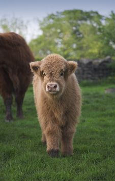Free Highland Calf Stock Photography - 5356372