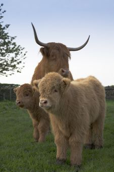 Free Highland Calfs With Cow Royalty Free Stock Photo - 5356385