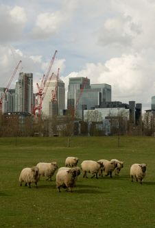 Free Sheep At Docklands Stock Photography - 5356762