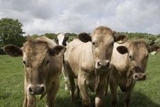 Free Friendly  Jersey Cows Stock Image - 5357091