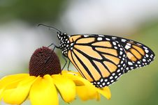 Monarch On Brown Eyed Susan Stock Images