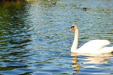 Free Swan Stock Image - 5357661