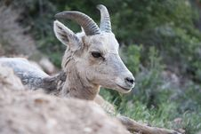 Free Mountain Sheep Baby Stock Images - 5357844