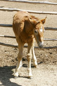 Free Young Foal Royalty Free Stock Photo - 5358025