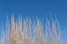 Free Tall Brown Grass In Front Of A Blue Sky Stock Images - 5358164