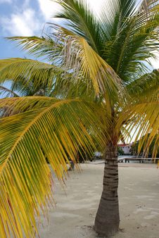 The Yellow Palm Royalty Free Stock Photo
