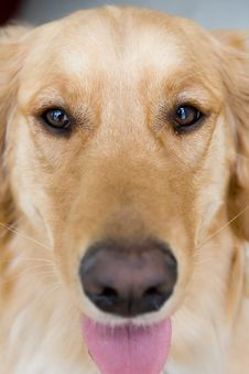 Free Golden Retriever Royalty Free Stock Image - 5358336