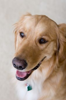 Free Golden Retriever Stock Photography - 5358342