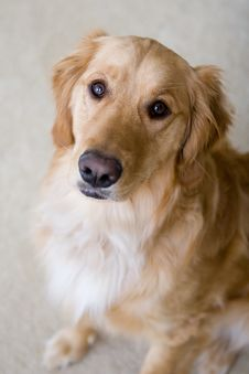 Free Golden Retriever Royalty Free Stock Photos - 5358348