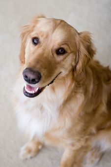 Free Golden Retriever Royalty Free Stock Photography - 5358357