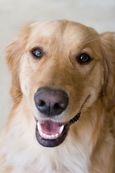 Free Golden Retriever Stock Photo - 5358360
