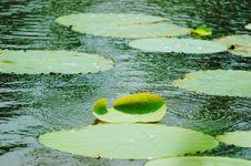 Free Lotus Stock Photos - 5358553