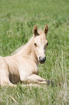Free Palomino Quarter Horse Foal Royalty Free Stock Photo - 5358725