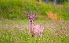 Free Deer Stock Photography - 5358772