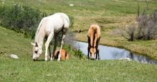 Free Quarter Horse Foals In Pasture Stock Images - 5358814